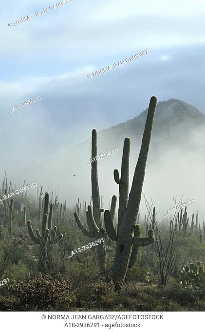 Fog weaves it's way through Saguaro National Park in the Sonoran Desert, Tucson, Arizona, USA