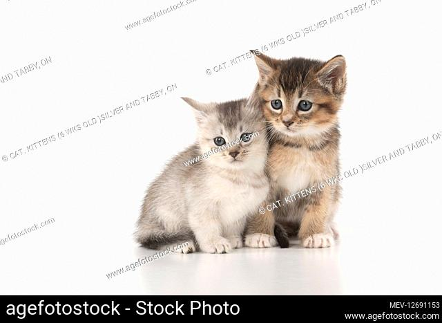 CAT. Kittens (6 wks old )silver and tabby, on white background