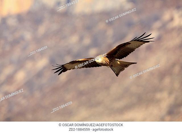 Red Kite Milvus milvus in flight  Pyrenees  Lleida  Catalonia  Spain