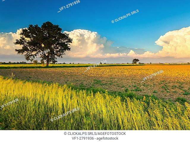 Lombardy, Italy. Countryside of pavia with a tree and clouds during the sunset