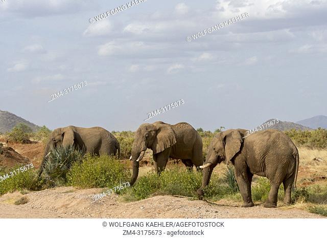 African elephants (Loxodonta africana) in the Samburu National Reserve in Kenya