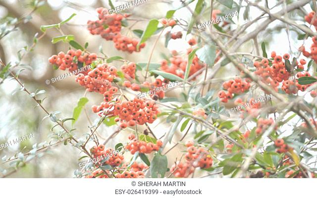 Orange firethorn berries on bush . Berries come out in fall and early winter. Great Thanksgiving or fall background image. Faded for text overlay