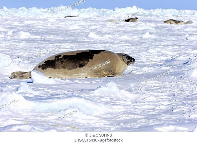 Harp Seal, Saddleback Seal, (Pagophilus groenlandicus), Phoca groenlandica, adult female on pack ice, Magdalen Islands, Gulf of St