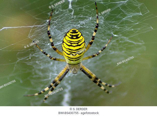 Black-and-yellow argiope, Black-and-yellow garden spider (Argiope bruennichi), in its web, Germany, Bavaria, Murnauer Moos