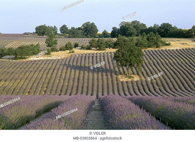 Lavender fields, Provence, Fance, Stock Photo, Picture And