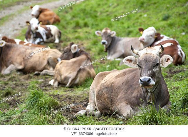 Val di Rabbi, Trento province, Trentino Alto Adige, Italy, Europe. Cows resting in a pasture