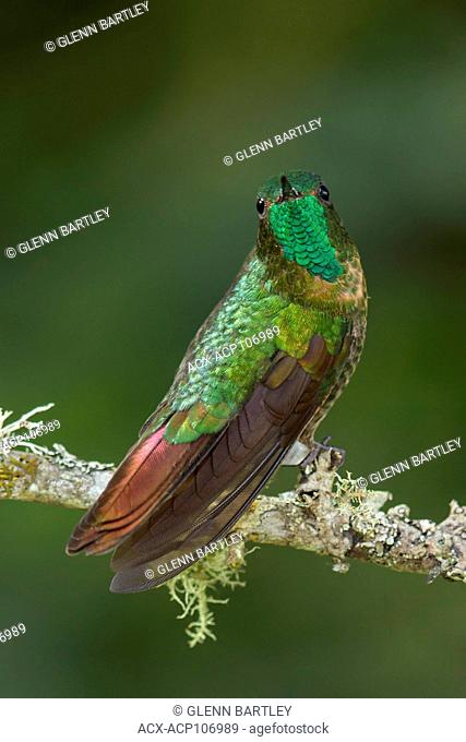Tyrian Metaltail (Metallura tyrianthina) perched on a branch in the mountains of Colombia, South America