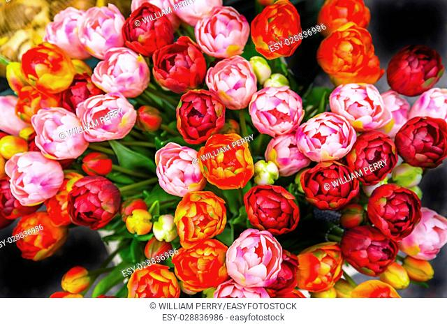 Orange Pink Red Tulips Flowers Bloemenmarket Flower Market Amsterdam Holland Netherlands. Red Tulips, perrenial bulb flower, are a symbols of love
