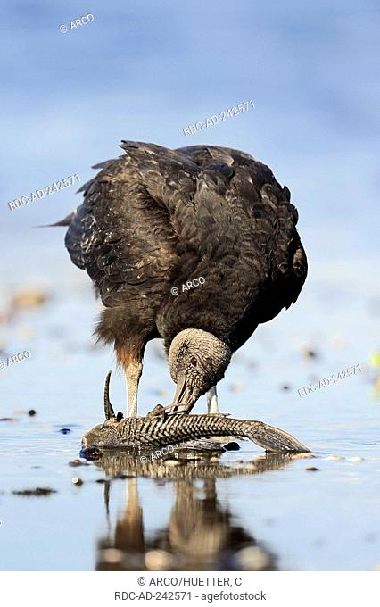 Black Vulture eating fish Myakka River State Park Florida USA Coragyps atratus
