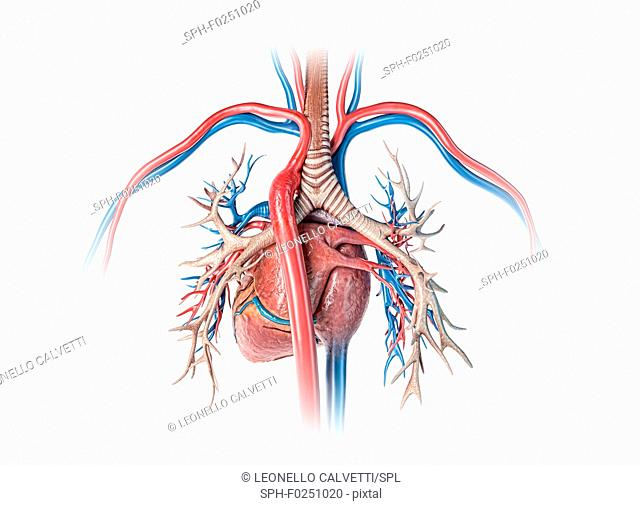 Human heart with bronchial tree, illustration
