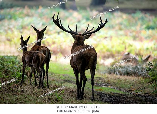 Family group herd of red deer stag cervus elaphus during rut season in forest landscape during Autumn Fall