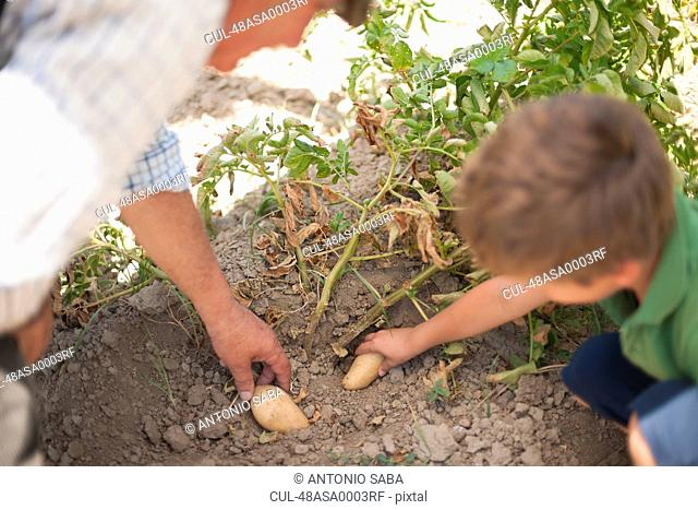 Man and grandson picking vegetables