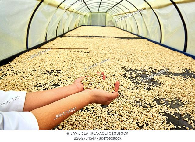 Parchment coffee, dried coffee bean, Cafetal, Coffee plantations, Coffee Cultural Landscape, Buenavista, Quindio, Colombia, South America