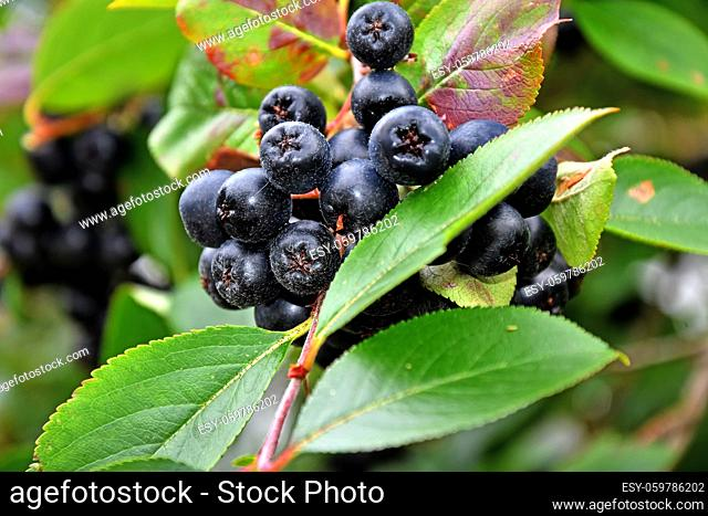 ripe Aronia berries on a tree in Germany