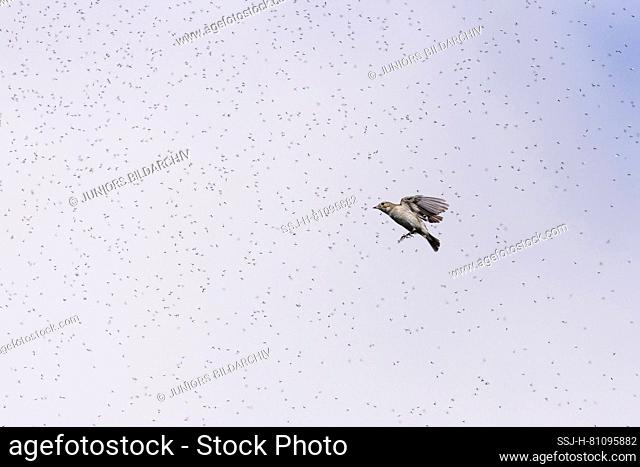 Pied Flycatcher (Ficedula hypoleuca) catching insects. Germany