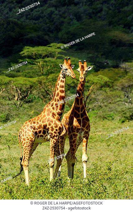 Rothschild's giraffe or Baringo giraffe or Ugandan giraffe (Giraffa camelopardalis rothschildi). One of the most endangered giraffe subspecies