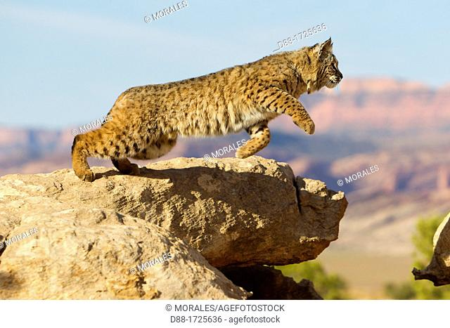 United Sates , Utah , Bobcat  Lynx rufus