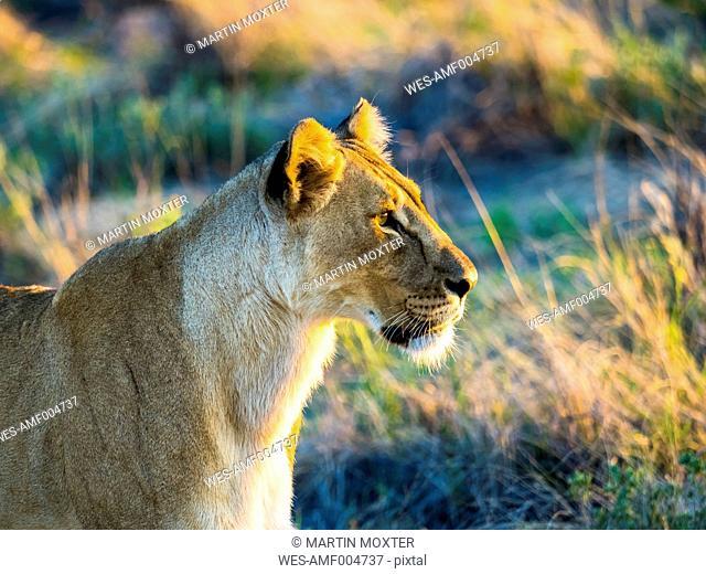 Namibia, Outjo, Ongava Wild Reservat, female lion, Panthera leo