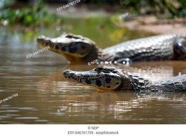 Close-up of two yacare caiman in shallows