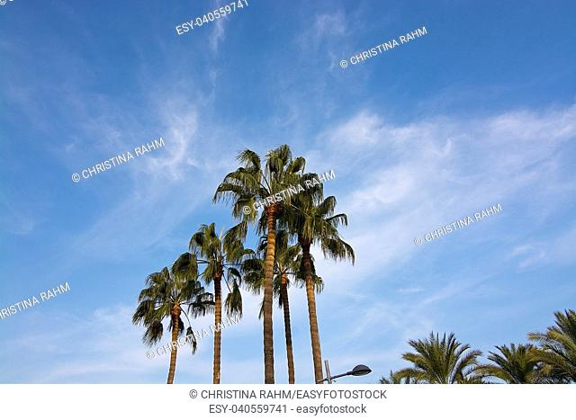 Palm tree top against blue skies in Mallorca, Spain