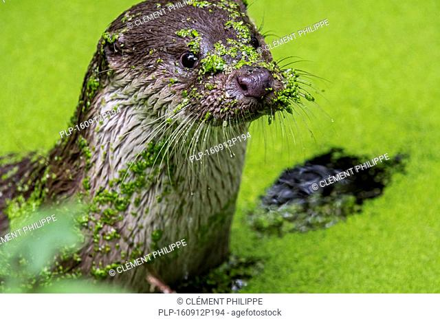 Close up portrait of European River Otter (Lutra lutra) in pond covered in duckweed