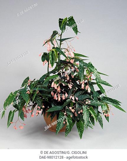 Tamaya (Tamaya sp) with pink flowers, Begoniaceae