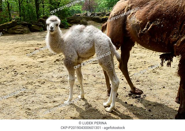 Female calf of Bactrian camel (Camelus bactrianus) called Masafi is seen in the Olomouc Zoo, Czech Republic, on Aprol 30, 2019