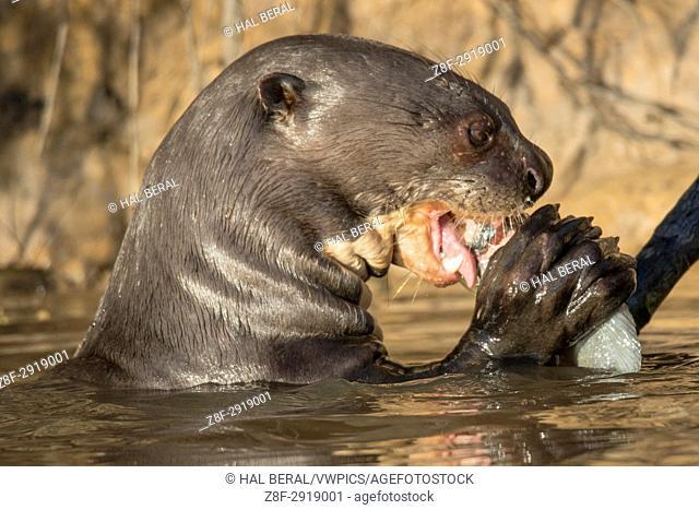Giant River Otter eating a fish close-up (Pteronura brasiliensis) Pantanal, Brazil