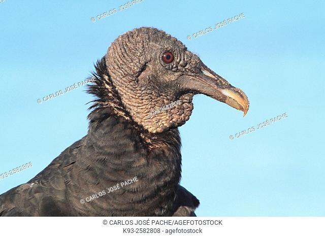 Costa Rica, Peninsula Osa, Corcovado National Park, Portrait of Black vulture (Coragyps atratus)