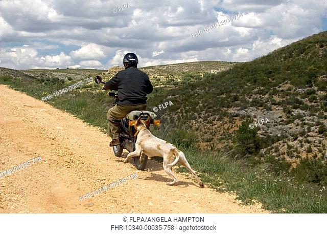 Domestic Dog, English Pointer, six month old puppy, chasing man on moped along rural track, Spain