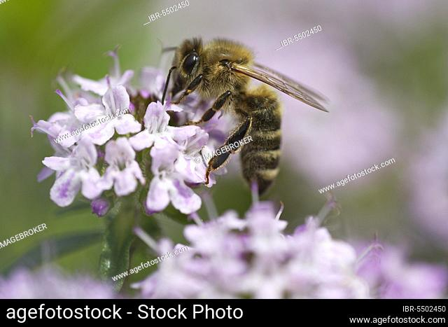 Honey bee (Apis mellifica) collecting nectar on broad leaved thyme (Thymus pulegioides)