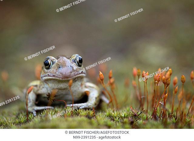 Common spadefoot toad (Pelobates fuscus), Bavaria, Germany
