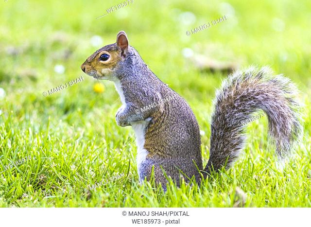 Squirrel in a London Park, UK
