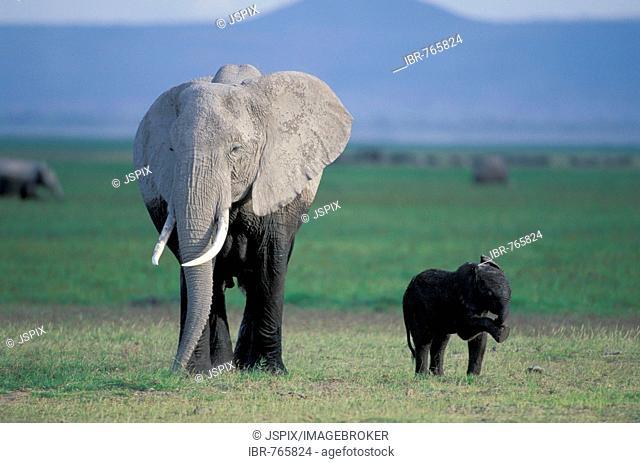 African Bush or Savanna Elephant (Loxodonta africana) with calf