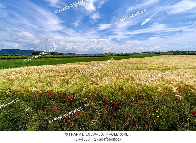 Typical green Tuscan landscape with hills, wineyards, poppies, grain field, farmhouse and blue, cloudy sky, Castiglione di Pescaia, Tuscany, Italy