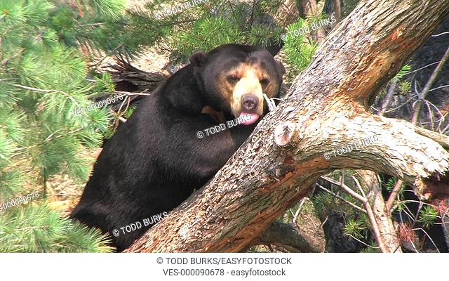Close-up of sun bear relaxing in a tree