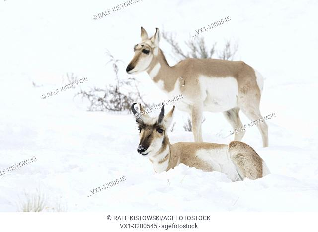 Pronghorns ( Antilocapra americana ) / Gabelantilopen, male and female in winter, lying, resting, standing next to each other in snow, Yellowstone, USA