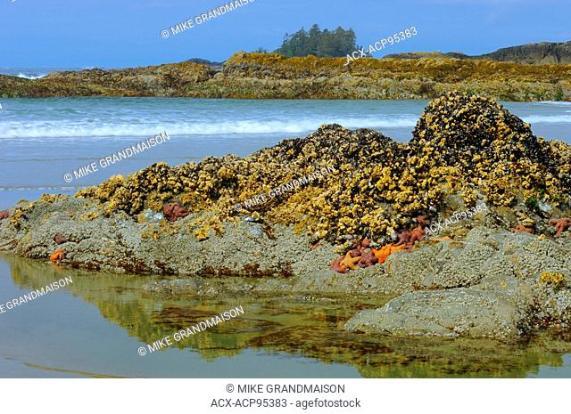 Starfish and barnacles along the Pacific Ocean at Long Beach Pacific Rim National Park British Columbia Canada