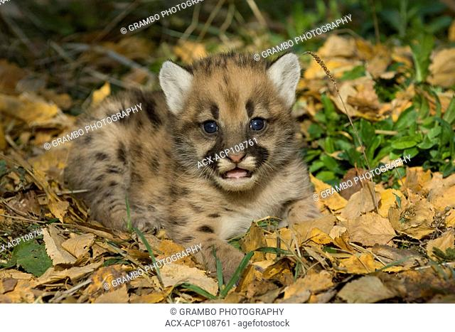 Very young Cougar kitten, Puma concolor, in autumn leaves, Montana, USA