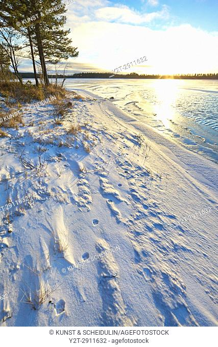 Fox tracks in newly fallen snow are leading along the shore of a forest lake. Tällvattnet, Bredbyn, Västernorrland, Sweden