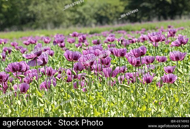 Opium poppy (Papaver somniferum), Hesse, Germany, Europe