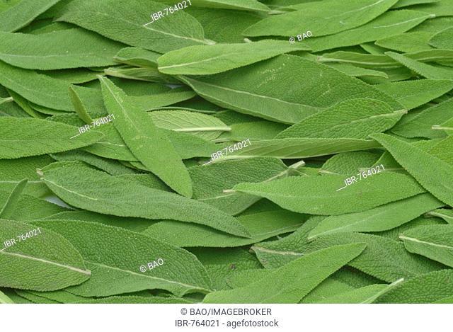 Common Sage leaves (Salvia officinalis), medicinal plant, herb