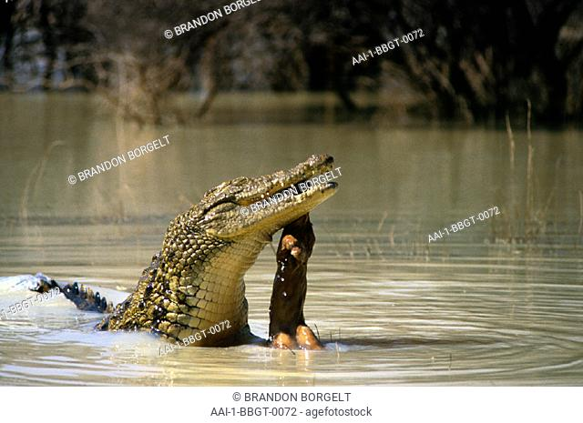 Crocodile with kill, Kruger National Park, Mpumalanga, South Africa