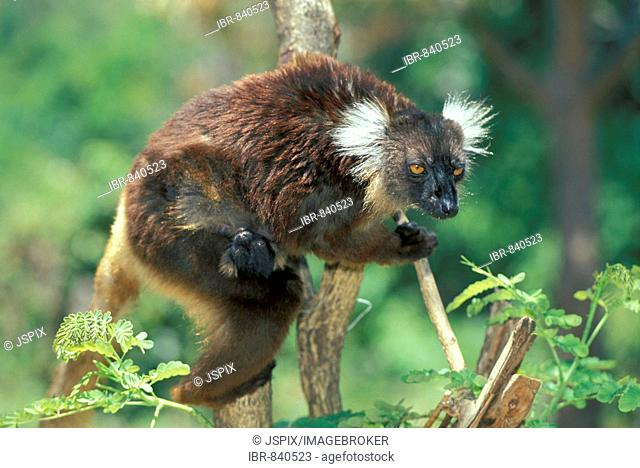 Black Lemur (Eulemur macaco), adult female with young in a tree, Nosy Komba, Madagascar, Africa