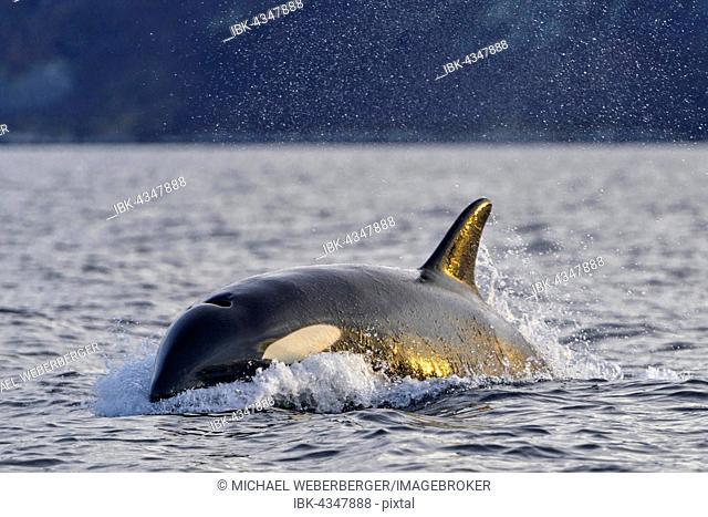 Orca (Orcinus orca), North Atlantic, at Tromvik, Norway