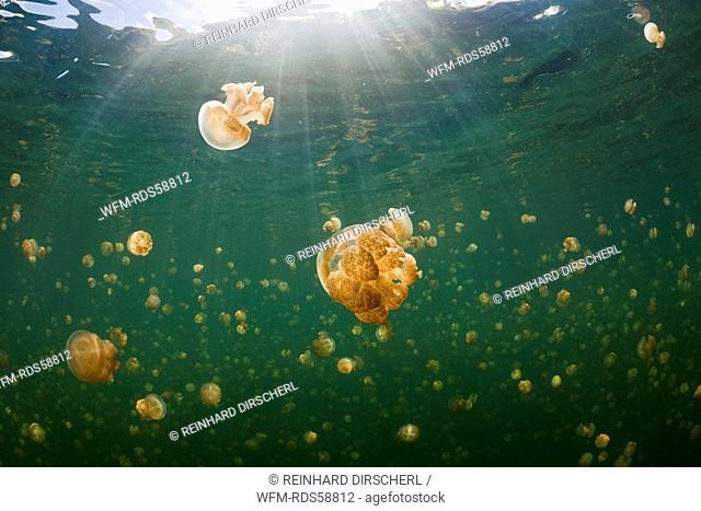 Mastigias Jellyfish in Jellyfish Lake, Mastigias papua etpisonii, Jellyfish Lake, Micronesia, Palau