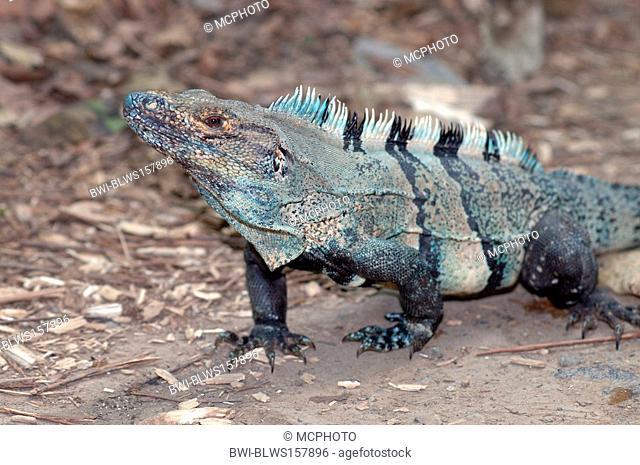 Black Iguana Ctenosaura similis, portrait, Costa Rica, Carara National Park