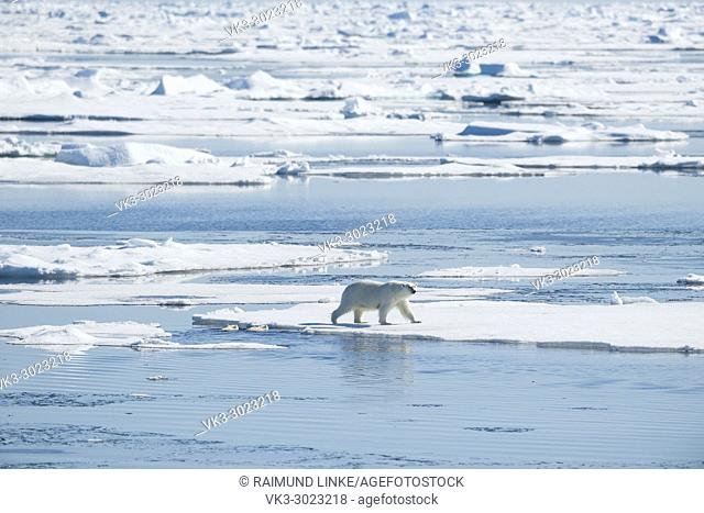Polar Bear, Ursus maritimus, Mother with Two Cubs in Water, North East Greenland Coast, Greenland, Arctic