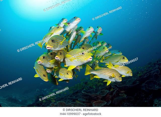 Shoal of Yellow-ribbon Sweetlips, Plectorhinchus polytaenia, Raja Ampat, West Papua, Indonesia