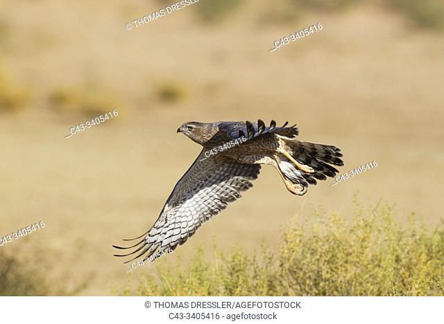 Pale-chanting Goshawk (Melierax canorus). Juvenile. Flying. Kalahari Desert, Kgalagadi Transfrontier Park, South Africa